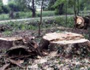 Csak a tönkök maradtak meg a pompás fákból